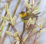Cape May Warbler Park Point Duluth MN IMG_2167