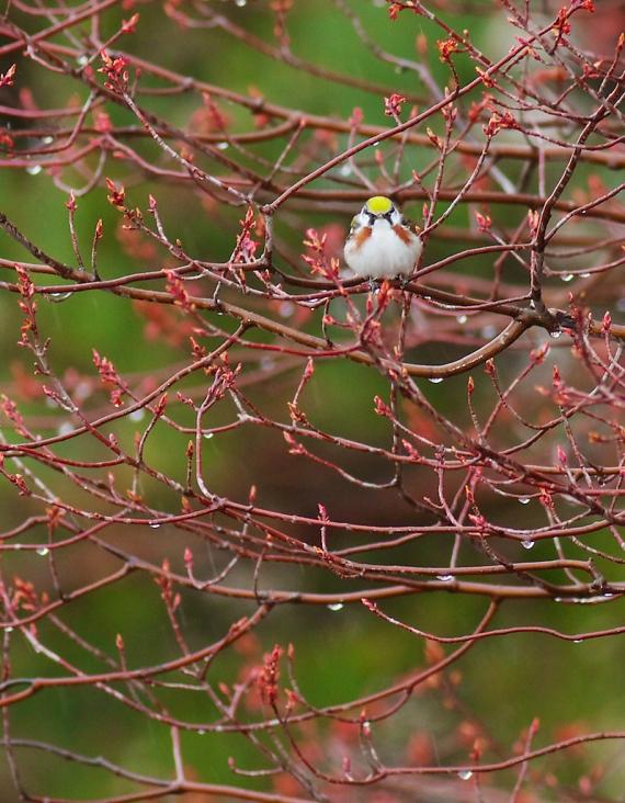 Chestnut-sided Warbler Park Point Duluth MN IMG_0002268