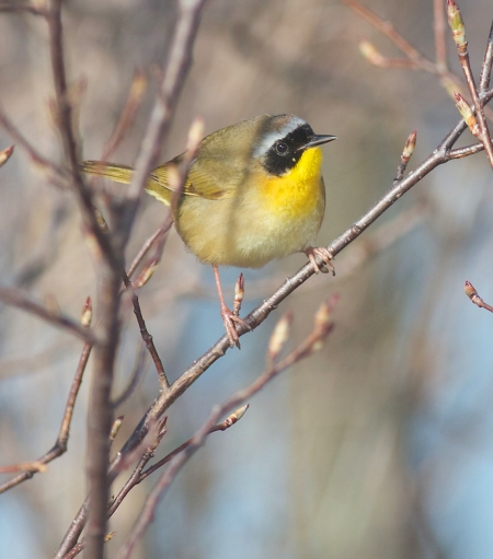 Common Yellowthroat Park Point Duluth MN IMG_0002416