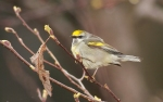 Golden-winged Warbler Park Point Duluth MN IMG_2105