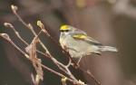 Golden-winged Warbler Park Point Duluth MNIMG_2105