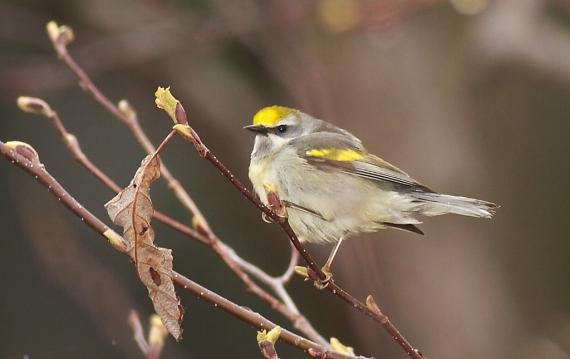 Golden-winged Warbler Park Point Duluth MN IMG_2105