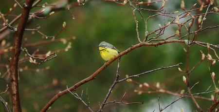Magnolia Warbler female Park Point Duluth MN IMG_0002257