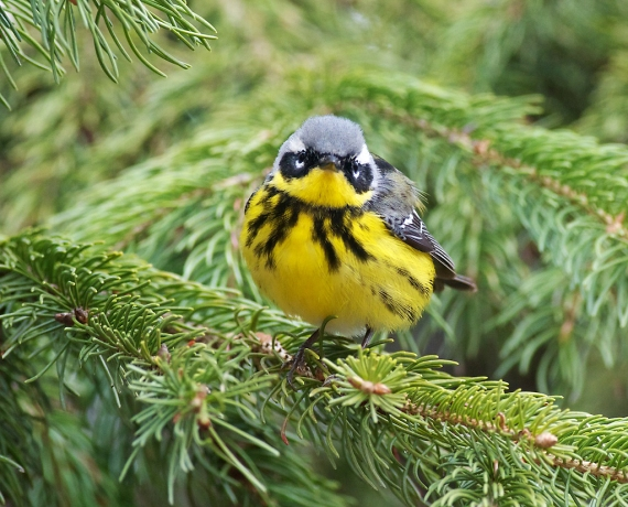 Magnolia Warbler Park Point Duluth MN IMG_2184