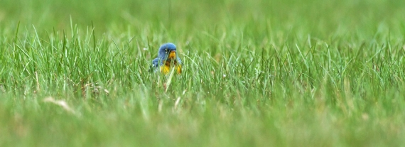 Northern Parula in grass Park Point Duluth MN IMG_2244