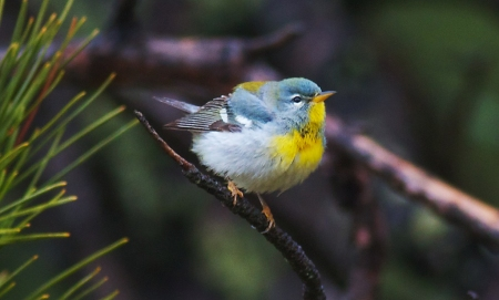 Northern Parula Park Point Duluth MN IMG_2058