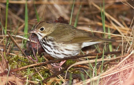 Ovenbird Park Point Duluth MN IMG_2315