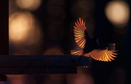 Black-capped Chickadee landing on feeder Skogstjarna Carlton Co MN MG_0074299