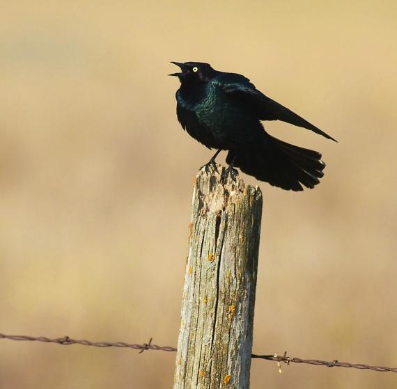 Brewer's Blackbird Felton Prairie Clay Co MN IMG_1642 (1)