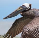 Brown Pelican Fort Myers Beach FLIMG_3636