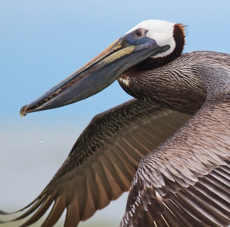 Brown Pelican Fort Myers Beach FL IMG_3636