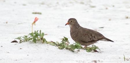 Common Ground-Dove Fort Myers Beach FL IMG_3807