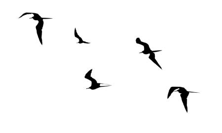 Frigatebirds 1 composite SMALL