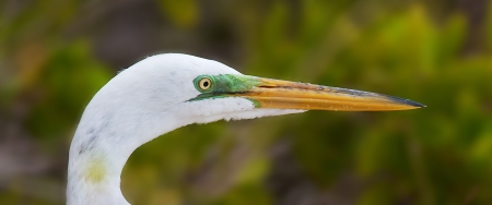 Great Egret breeding face Fort Myers Beach FL IMG_3838
