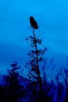 Great Gray Owl Nichols Lake Rd closer to CR7 Sax-Zim Bog MNIMG_3891