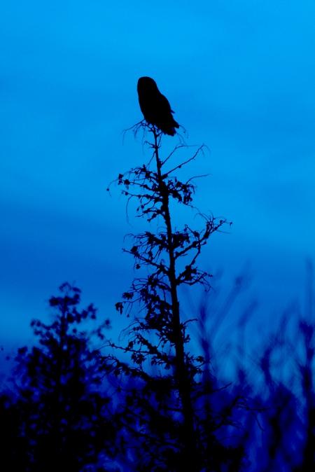 Great Gray Owl Nichols Lake Rd closer to CR7 Sax-Zim Bog MN IMG_3891