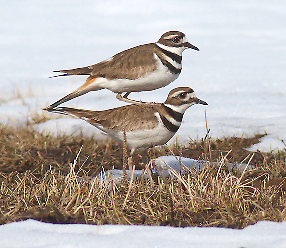 Killdeer CR201 Sax-Zim Bog MN IMG_8053 copy