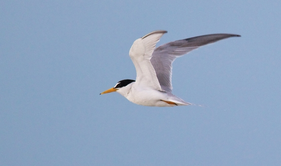 Least Tern flying Fort Myers Beach FL IMG_3581