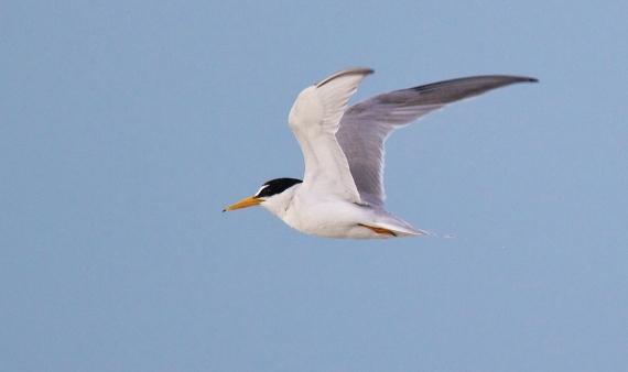 Least Tern flying Fort Myers Beach FL IMG_3581