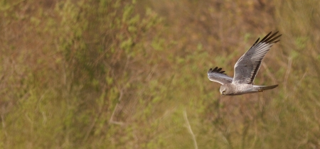 Northern Harrier Felton Prairie Clay Co MN IMG_1585