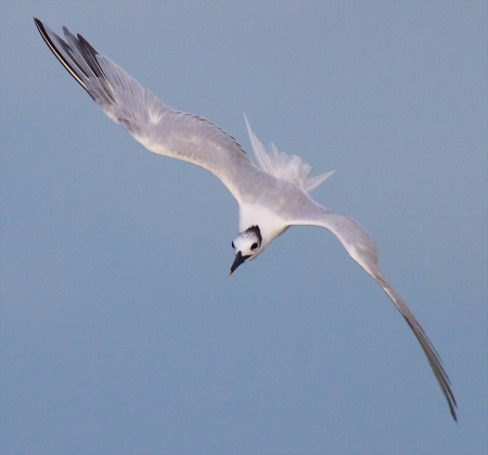 Sandwich Tern flying Fort Myers Beach FL IMG_3538