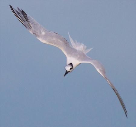 Sandwich Tern flying Fort Myers Beach FL IMG_3538