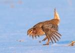 Sharp-tailed Grouse lek blind Kettle River Twp Carlton Co MNIMG_7840