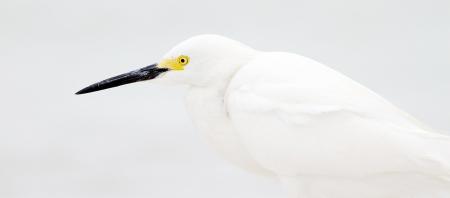 Snowy Egret high key Fort Myers Beach FL IMG_3824