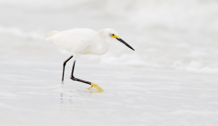 Snowy Egret stalking beach Fort Myers Beach FL IMG_3601