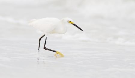Snowy Egret stalking beach Fort Myers Beach FL IMG_3601