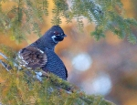 Spruce Grouse male Hwy 1 milepost 302.9 Ely MNIMG_3902