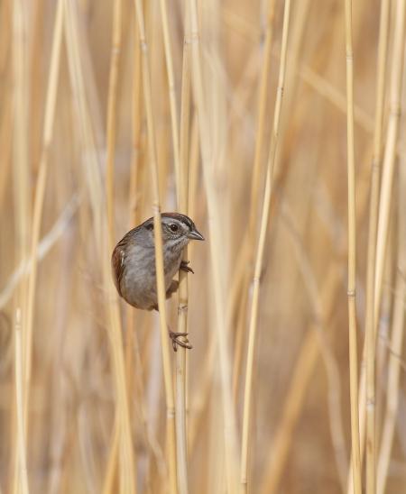 Swamp Sparrow Felton Prairie Clay Co MN IMG_1734