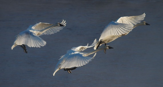 Trumpeter Swans 3 landing backlit Monticello MN IMG_0073476