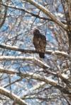 Turkey Vulture snow Fond du Lac Duluth MNIMG_7606