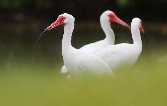 White Ibis Estero Beach Lagoon Ft. Myers Beach FL IMG_4318