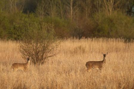 White-tailed Deer near Felton Prairie Clay Co MN IMG_1394