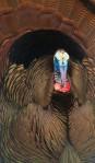 Wild Turkey Skogstjarna Carlton Co MNIMG_6733