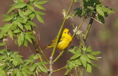 Yellow Warbler Felton Prairie Clay Co MN IMG_1597