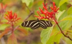 Zebra Longwing Heliconius charitonius Lovers Key State Park Ft. Myers Beach, FLIMG_4210