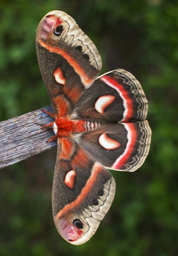 Cecropia moth Hyalophora cecropia Skogstjarna Carlton Co MN IMG_6573