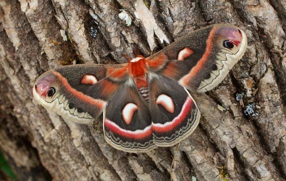 Cecropia moth Hyalophora cecropia Skogstjarna Carlton Co MN IMG_6580