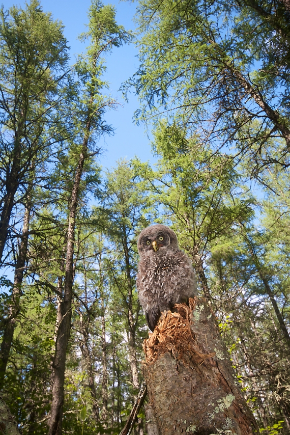 Great Gray Owl nestling Hedbom Rd Aitkin Co MN IMG_7390
