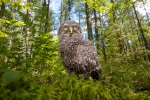 Great Gray Owl nestling Hedbom Rd Aitkin Co MNIMG_7410
