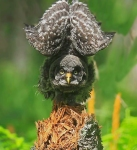 Great Gray Owletstretching_0002