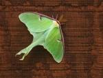 Luna Moth Actias luna Skogstjarna Carlton Co MNIMG_7524