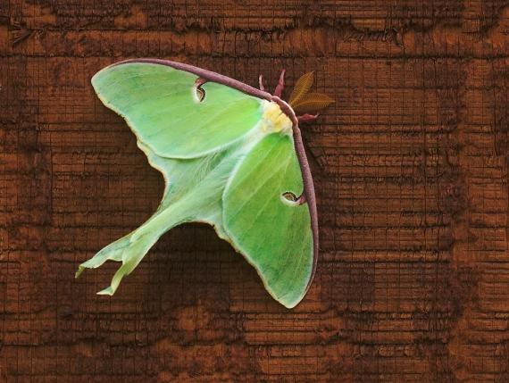 Luna Moth Actias luna Skogstjarna Carlton Co MN IMG_7524