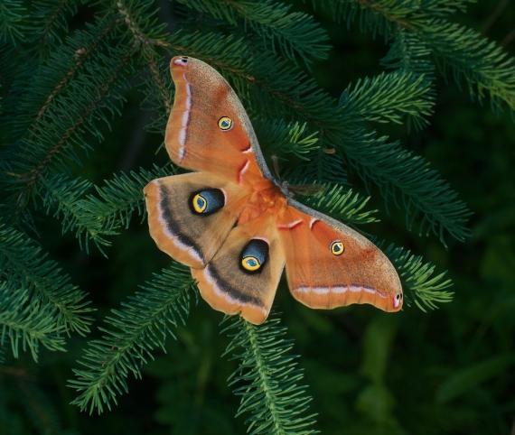 Polyphemus moth Antheraea polyphemus Skogstjarna Carlton Co MN IMG_7850