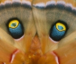 Polyphemus moth Antheraea polyphemus Skogstjarna Carlton Co MN IMG_7855copy