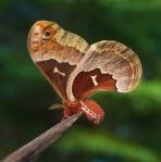 Promethea moth Callosamia promethea Skogstjarna Carlton Co MNIMG_7529