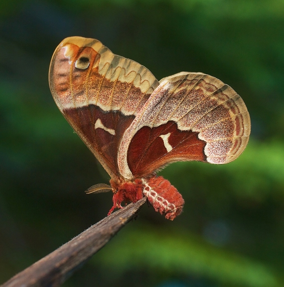 Promethea moth Callosamia promethea Skogstjarna Carlton Co MN IMG_7529